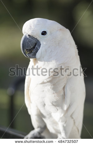 Cacatua Stock Photos, Royalty.