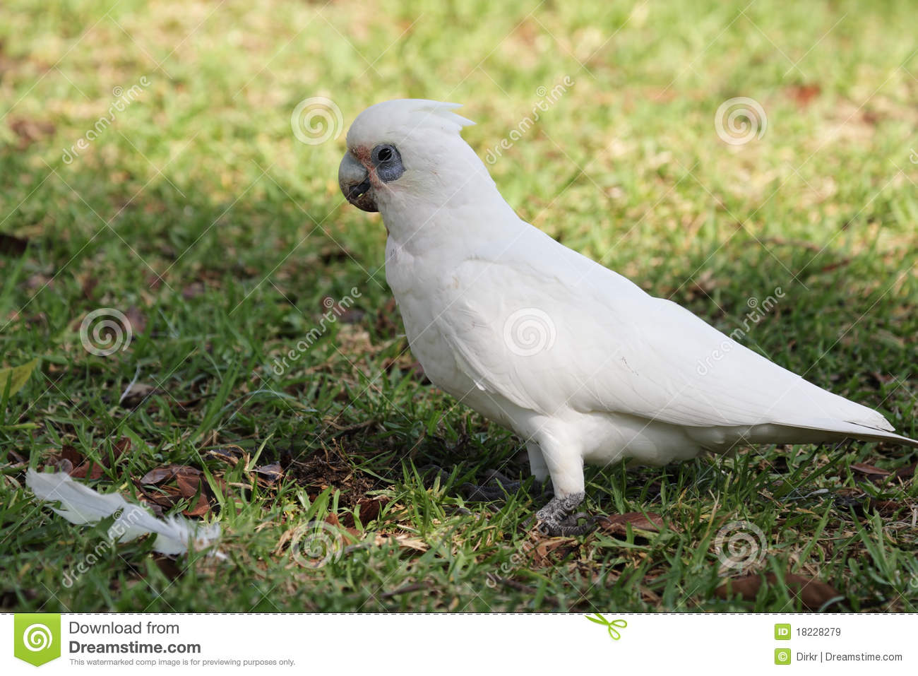Little Corella (Cacatua Sanguinea) Royalty Free Stock Images.
