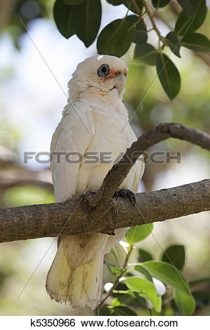 Stock Images of Little Corella (Cacatua sanguinea) k5350966.