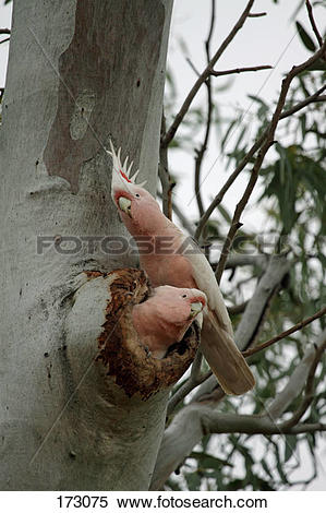 Stock Image of Major Mitchells Cockatoo, Leadbeaters Cockatoo.