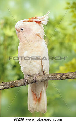 Stock Photograph of Major Mitchell's Cockatoo on branch.