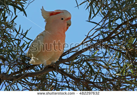 Major Mitchells Cockatoo Stock Photos, Royalty.