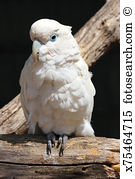 White cockatoo Stock Photo Images. 1,255 white cockatoo royalty.
