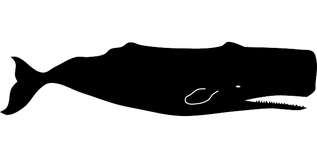 Free vector graphic: Sperm Whale, Physeter Macrocephalus.