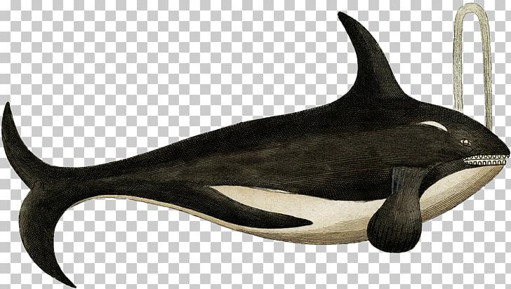 Cetáceo cachalote ballena asesina, ballena asesina PNG.
