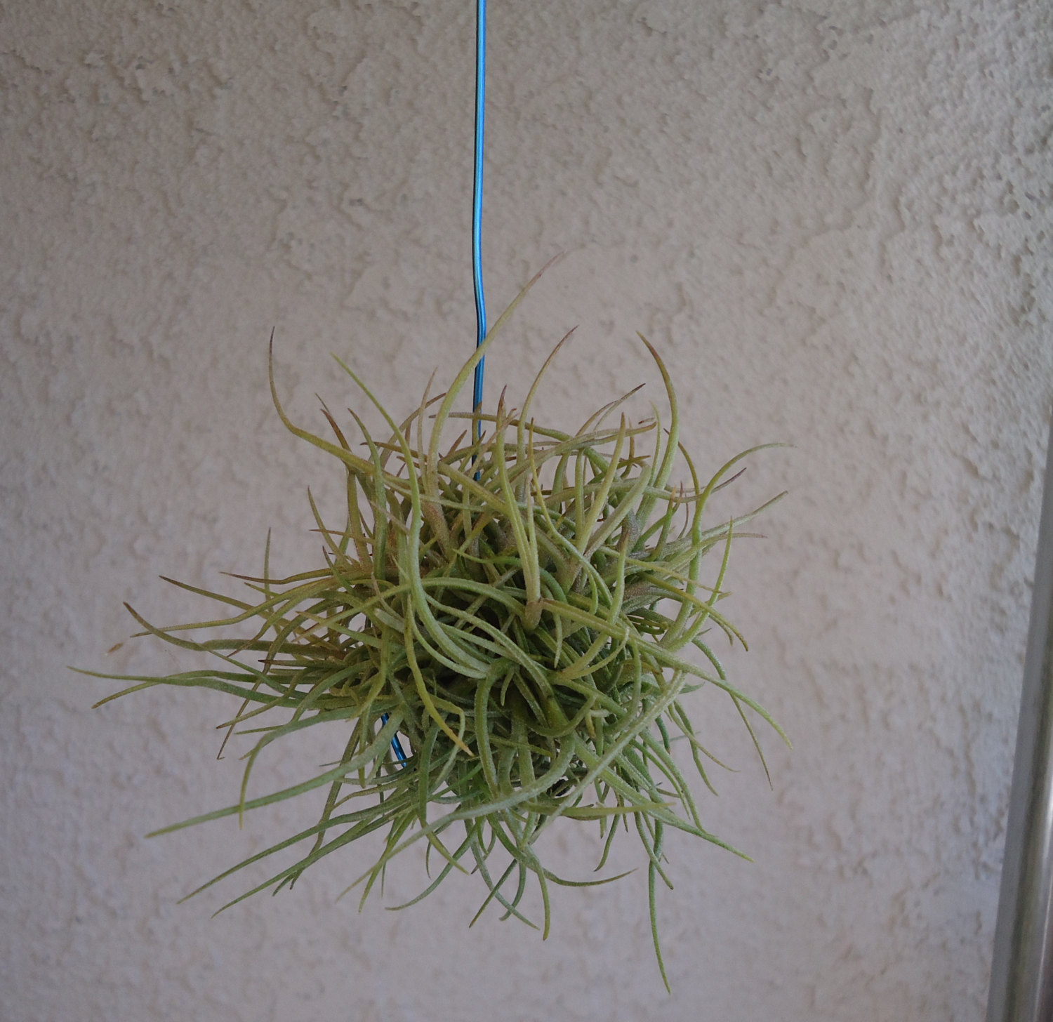 Tillandsia Recurvata Hanging Ball by CTSairplants on Etsy.