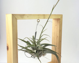 Items similar to Tillandsia Airplant Curly Leaves Series.