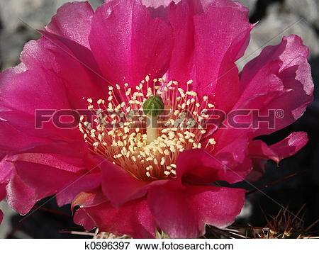 Picture of Cactus blossom k0596397.
