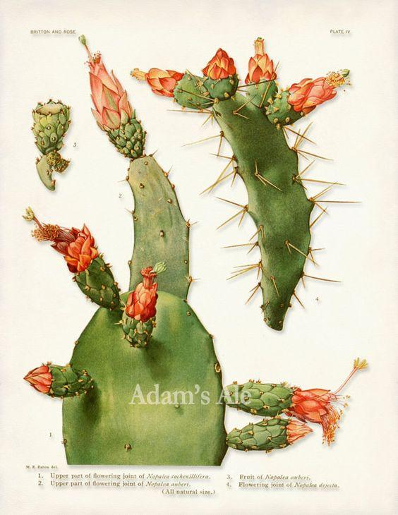 Cactus Art Print, Cactus Poster, Prickly Pear Red Cactus Blossoms.