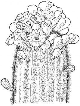 Cactus drawing Saguaro Cactus Blossom.