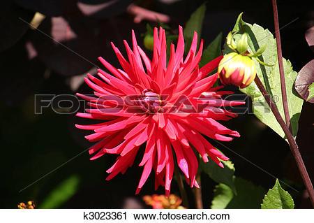 Stock Photography of Salmon Pink Cactus Dahlia k3023361.