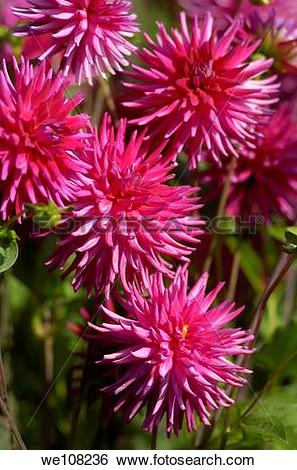 Stock Images of Semi Cactus Dark Pink Dahlias in an English.