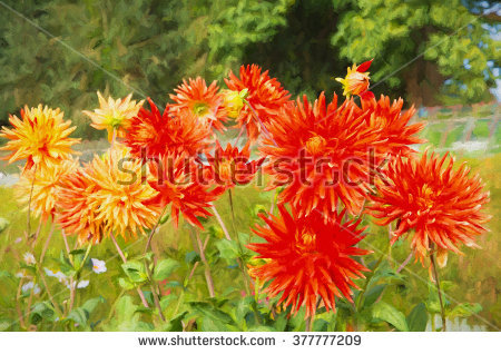 Cactus Dahlia Stock Photos, Royalty.