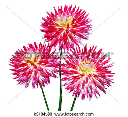 Pictures of Three Cactus Dahlia k3184598.
