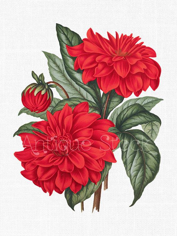 Red Flower Clip Art 'Cactus Dahlia' Vintage by AntiqueStock.
