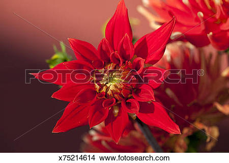 Stock Photo of ?Gelber Vulcan? (Cactus Dahlia) x75214614.