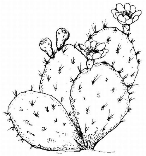 Cactus coloring pages.