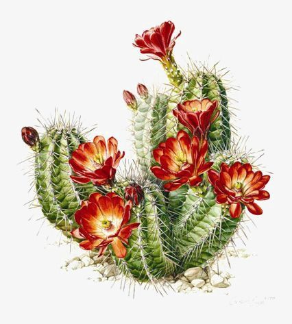 Cactus, Hand Painted, Cartoon, Watercolor PNG Transparent Image and.