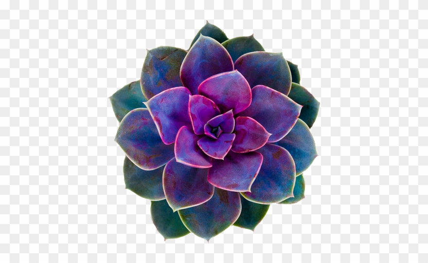Cactus Flower Png.