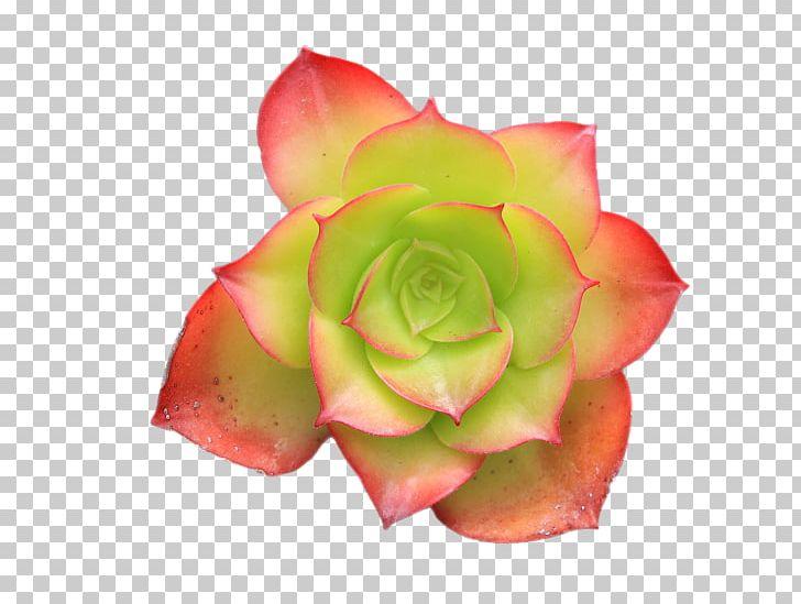 Succulent Plant Hen And Chicks Flower Plants Cactus PNG, Clipart.