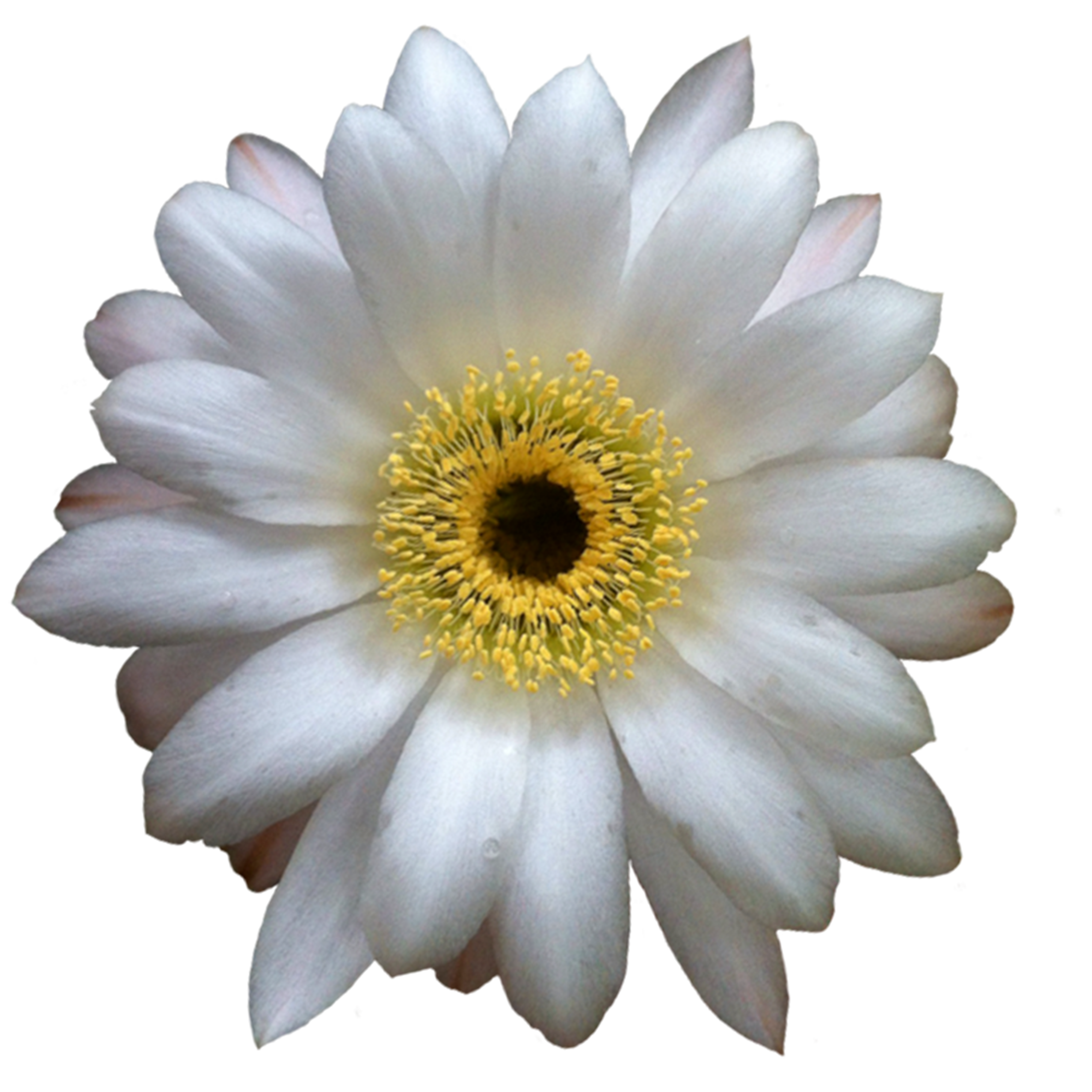 Cactus flower png #39168.