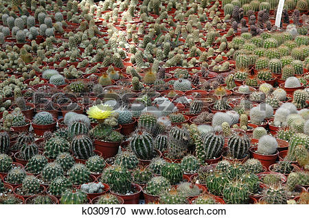 Stock Photography of Single notocactus bloom in a cactus nursery.