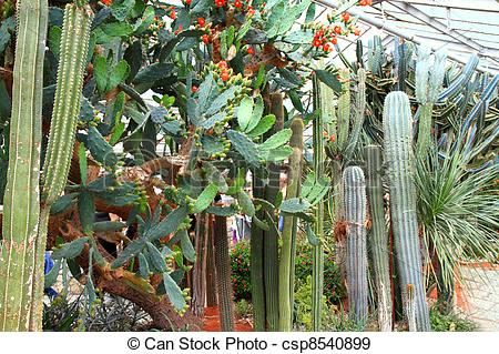 Stock Photographs of Cactus in greenhouse.