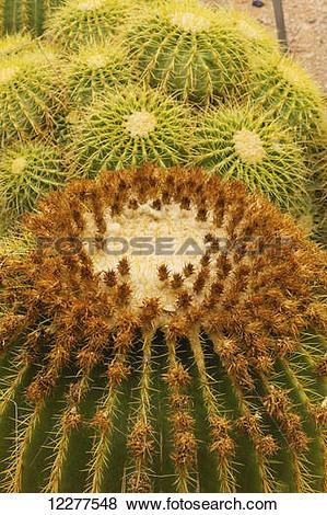 Pictures of Golden Barrel Cactus (Echinocactus grusonii), Living.