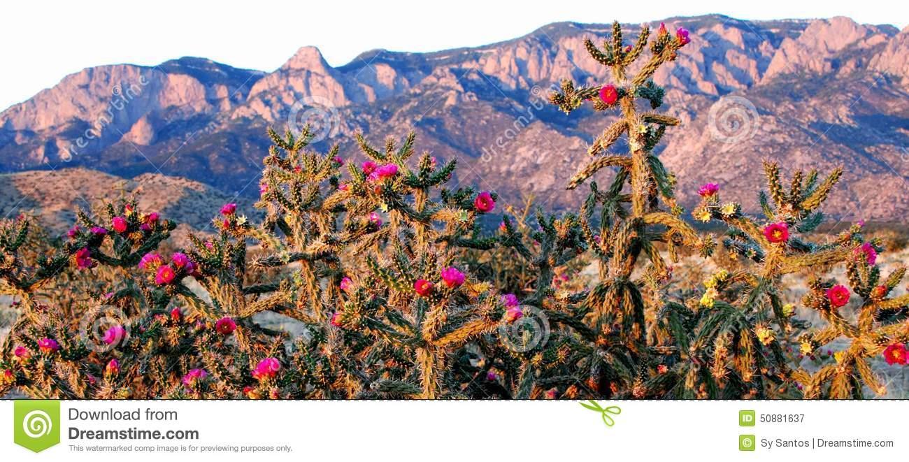 Pink Cactus Blooms At Purple Pink Blue Sandia Mountains Stock.