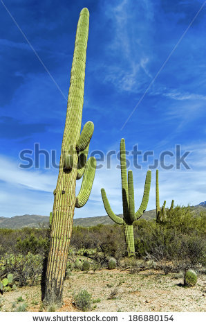 Giant Saguaro Cactus Saguaro National Park Stock Photo 187858331.