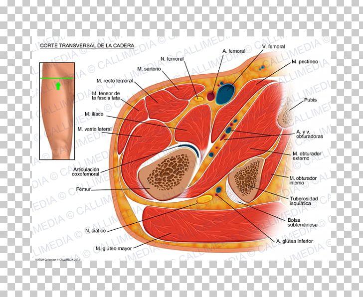 Nerve Hip Transverse Abdominal Muscle Transverse Plane.