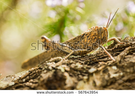 Brown Grasshopper Stock Images, Royalty.