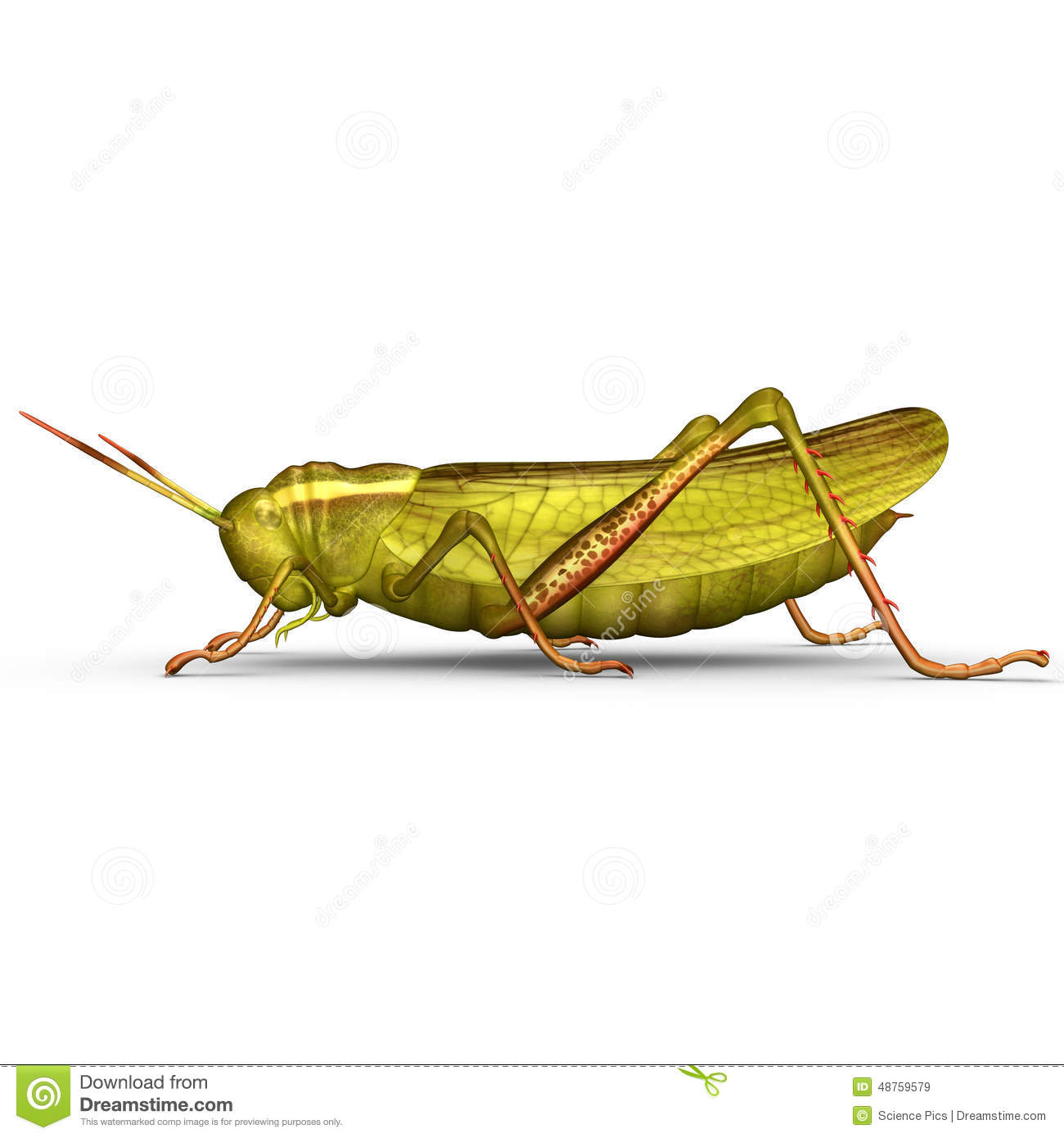 Grasshopper Stock Photo.