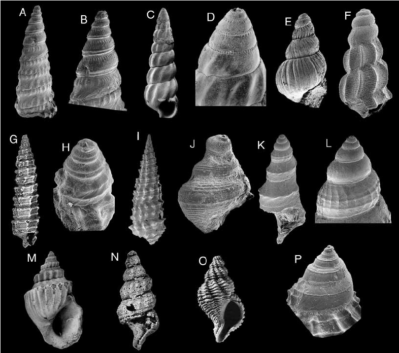 Caenogastropoda (PDF Download Available).