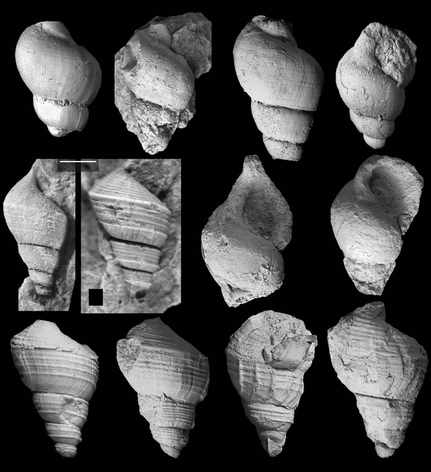Jurassic and Cretaceous Gastropods from Hydrocarbon Seeps in.