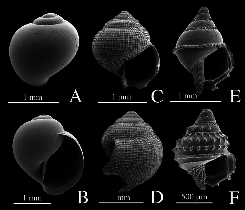 Examples of unidenti fi ed gastropod larval shells collected.