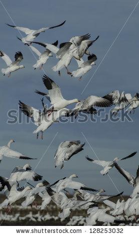"""snow Geese"" Stock Photos, Royalty."