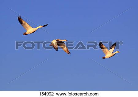 Stock Photo of three snow geese.
