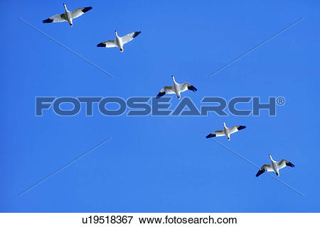 Picture of Snow geese in flight, Chen caerulescens, Klamath Basin.