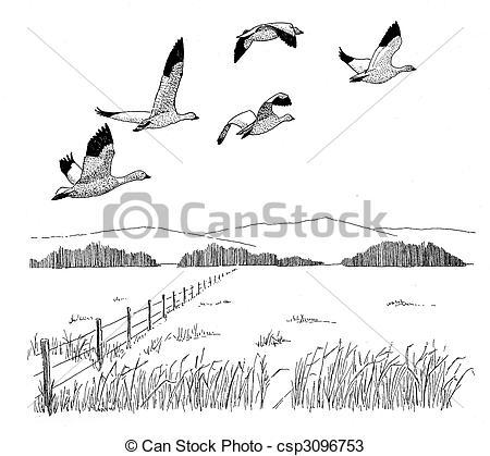 Drawings of Snow Goose.