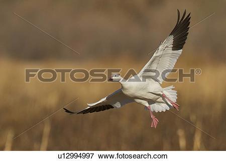 Picture of Snow Goose, Chen caerulescens, Bosque Del Apache, New.
