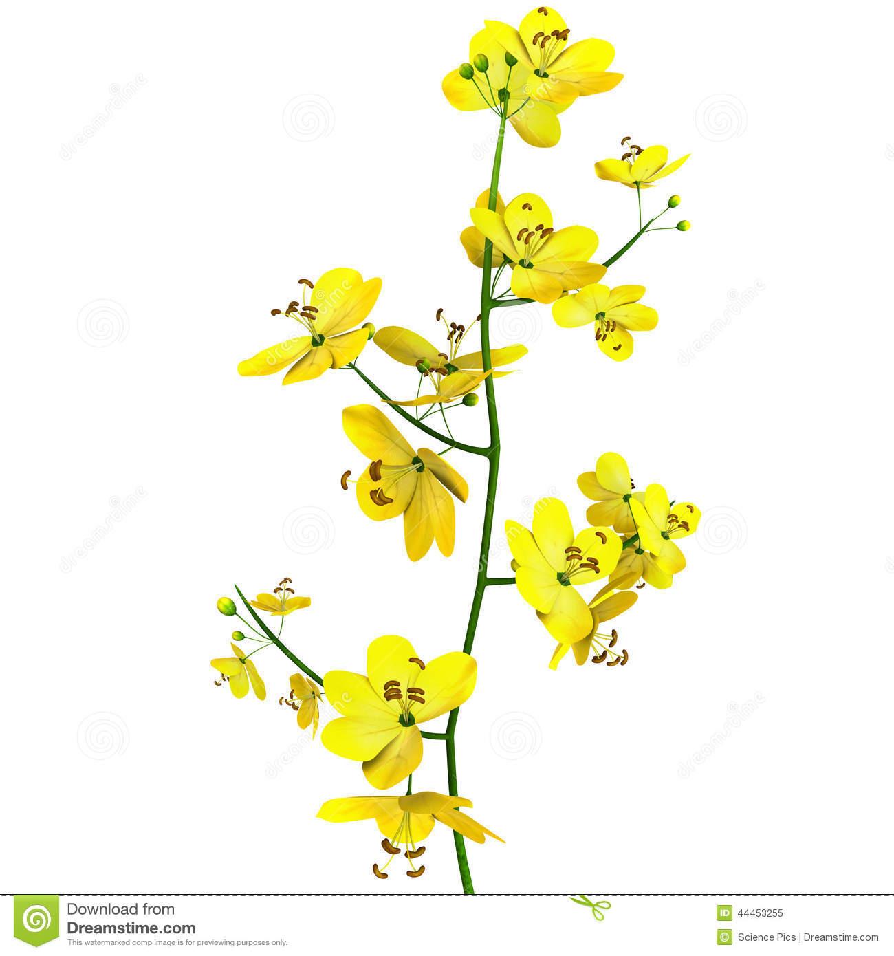 Cassia (genus) Stock Illustration.