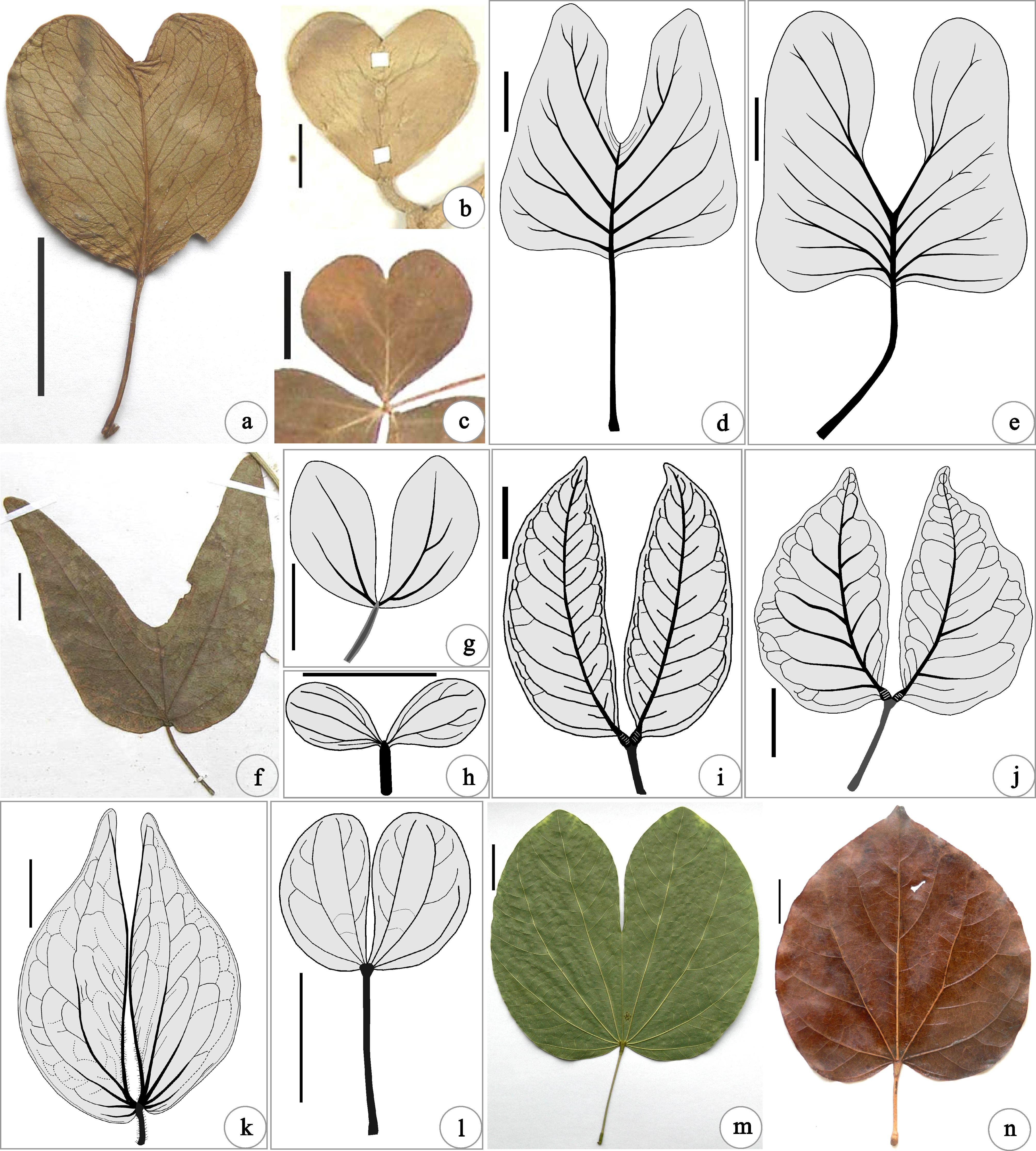 Leaves and fruits of Bauhinia (Leguminosae, Caesalpinioideae.