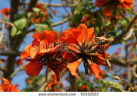 Beautiful Flamboyant Tree (Royal Poinciana Or Delonix Regia ) Is A.