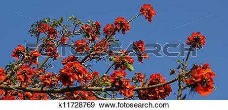 Stock Photograph of beautiful Flamboyant tree (Royal Poinciana or.