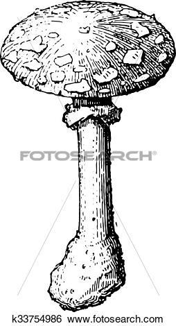 Clip Art of Amanita Caesarea or Oronge, vintage engraving.
