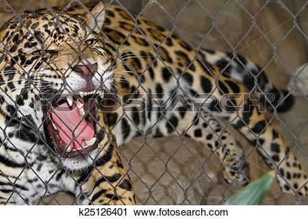 Stock Photography of Caged Jaguar Growling k25126401.