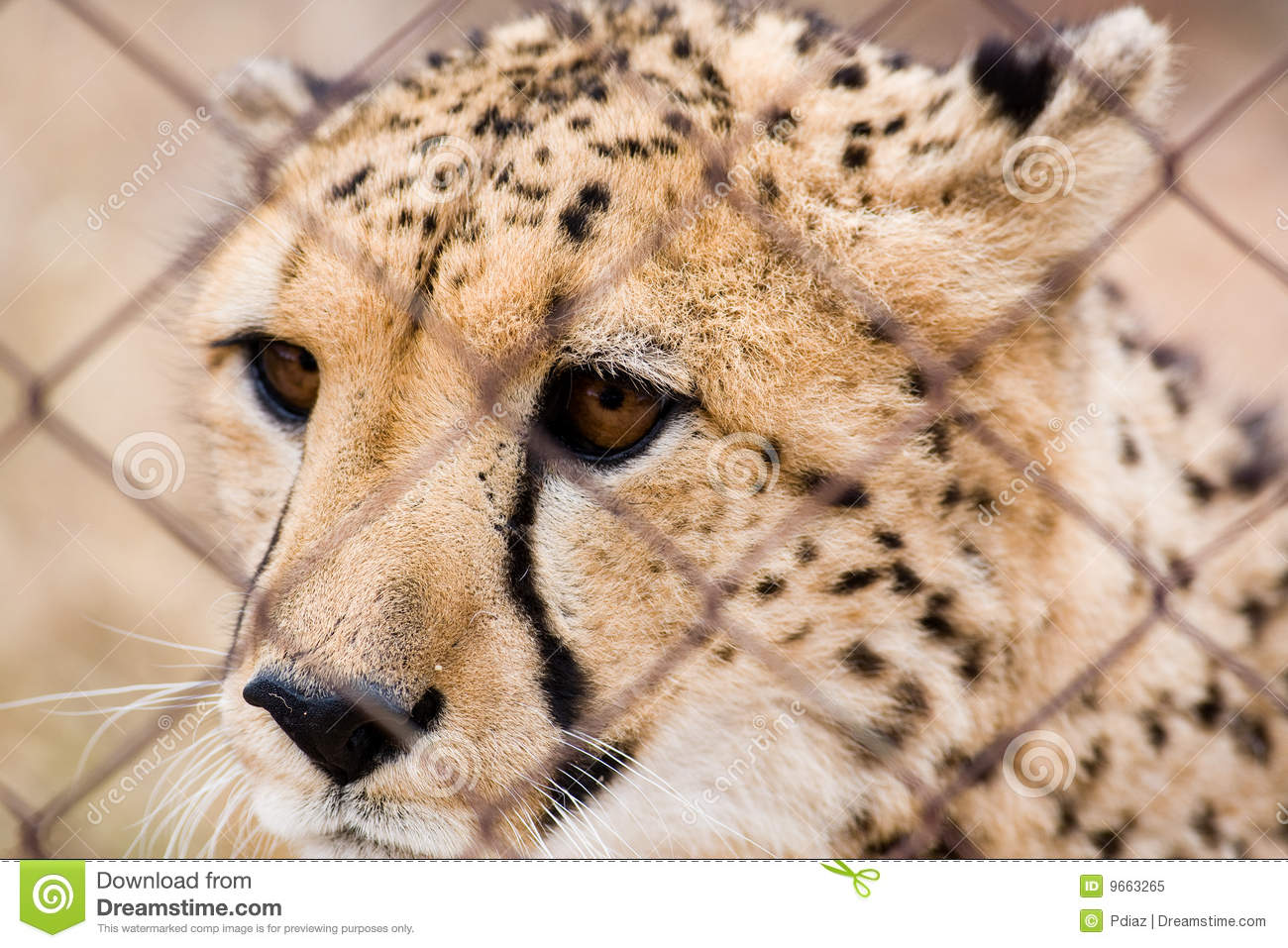 Caged Cheetah Royalty Free Stock Photo.