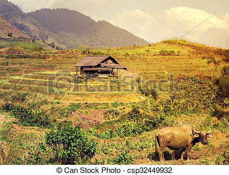 Stock Photos of bull asia village agriculture Rice Field.