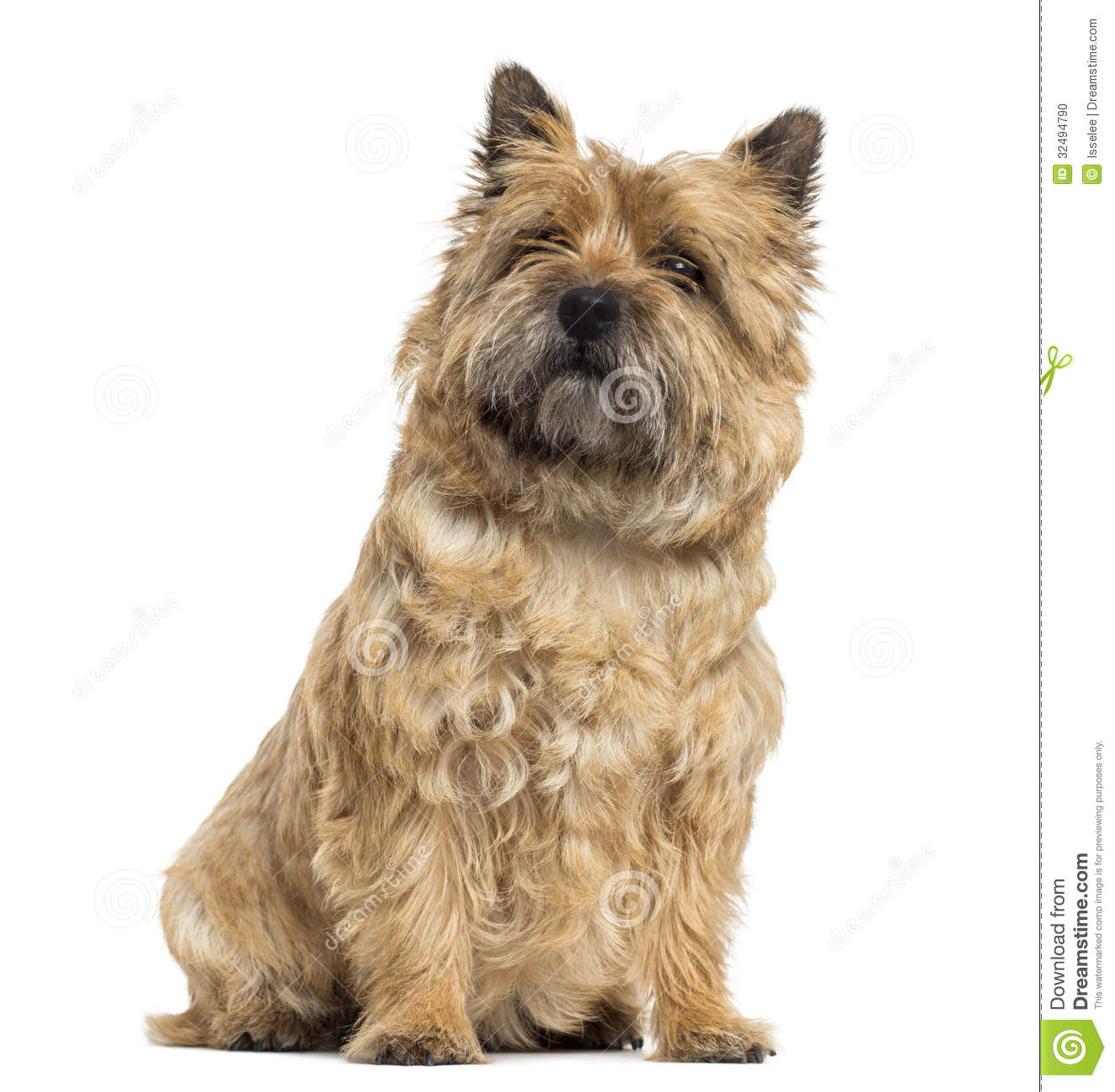 Cairn Terrier Royalty Free Stock Image.
